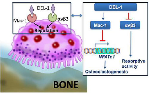X Osteoclast activation