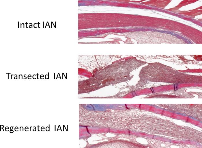 Research on neuroplasticity in oro-facial region.