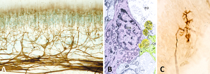 A: Pulpal nerved in human tooth (p75NGFR staining),  B: Pulpal endings near odontoblasts (OB), C: Periodontal Ruffini ending