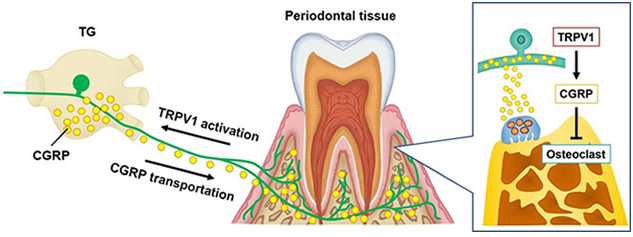 Interactions between the nervous system and immune responses in periodontal disease.